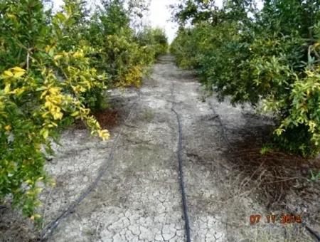 Ortaca Mergenlide Satılık Verimli Arazi
